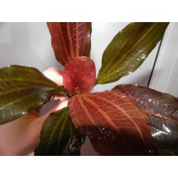 Эхинодорус Красный Жемчуг (Echinodorus Hadi Red Pearl)