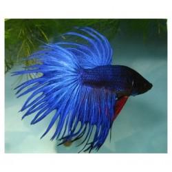 Петушок Коронохвостый синий (Betta splendens)