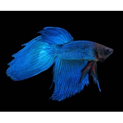 Петушок Вуалевый синий (Betta splendens)