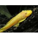 Анциструс золотой (Ancistrus dolichopterus gold)