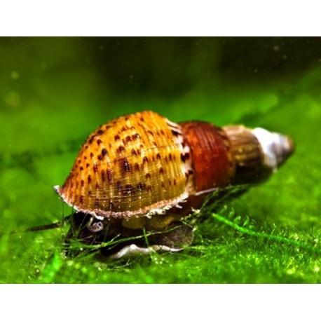 Улитка Мелания гранифера(Melanoides granifera)