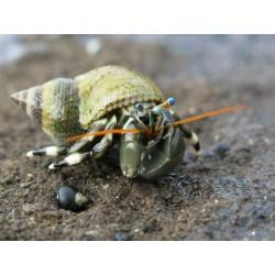 Раки отшельники (Paguroidea)