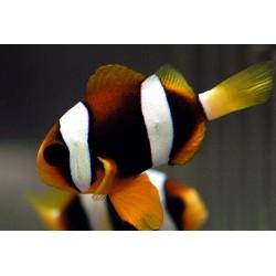 Клоун Кларка Шоколадный (Amphiprion clarkii)
