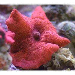 Дискосома красная (Discosoma Red)