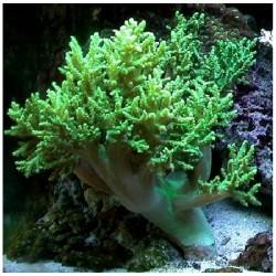 Коралл Синулярия зеленая ( Sinularia green)