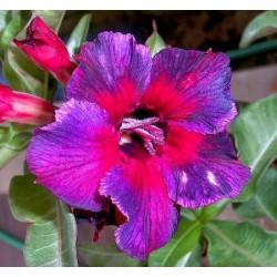 Семена Adenium Obesum Kaleidoscope 1шт
