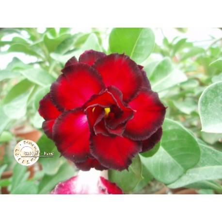 Семена Adenium Obesum Kо_9 1шт