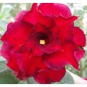 Семена Adenium Obesum Fire Fenghwang 1шт