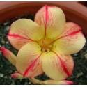 Семена Adenium Obesum Star of Yellow Dream 1шт