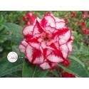 Семена Adenium Obesum Kо_24 1шт