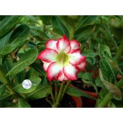 Семена Adenium Obesum Polaris