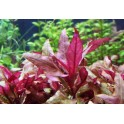 Альтернантера лиловая (Alternanthera lilacina)